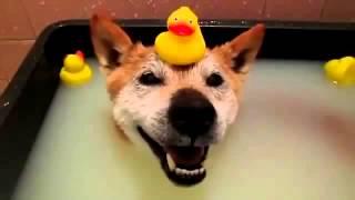 Рыжая собака принимает ванну с резиновыми игрушками
