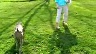 This Video Is Unavailable.     This Weimaraner Really Likes Grass!