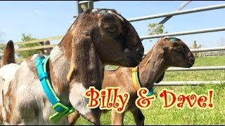 Billy & Dave The New Kids At Croft Farm and Celtic Cottages