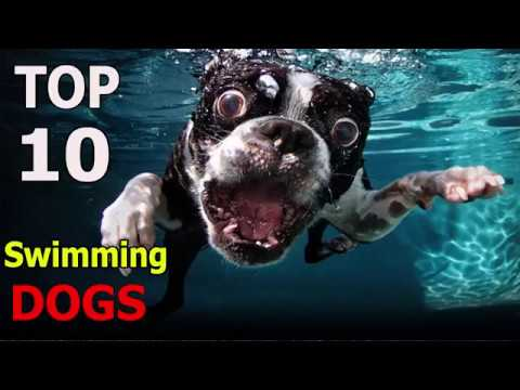 Top 10 Swimming dog breeds | Top 10 animals