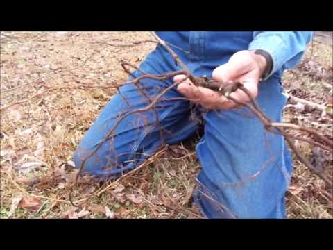 How to propagate and plant muscadine grapes on the Homestead