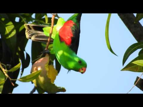 Nikon P900 –  Red-winged Parrot zoom 6