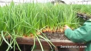 Процент выгонки зеленого лука
