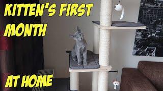 RUSSIAN BLUE KITTEN FIRST MONTH AT HOME