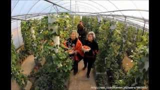 Выращивание клубники круглый год в мешках в закрытом грунте(, 2015-01-24T10:09:34.000Z)