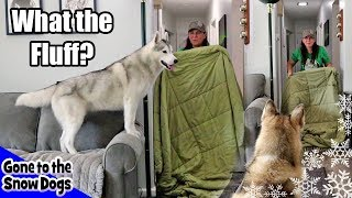 What the Fluff Challenge with my Huskies | Husky What the Fluff
