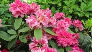 Красивые многолетние цветы в саду.