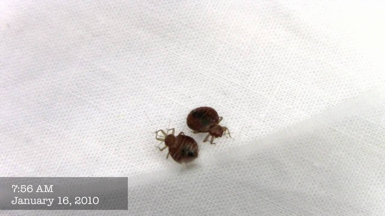 Bed Bug Song Youtube
