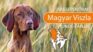 Magyar Vizsla [2019] Breed, Appearance & Character
