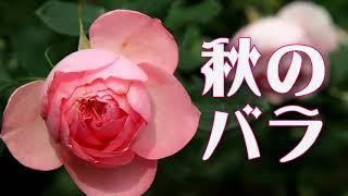 京王フローラルガーデン・アンジェ 「秋のバラ」