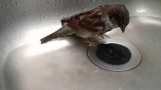 Cen der Spatz badet / Sparrow takes bath