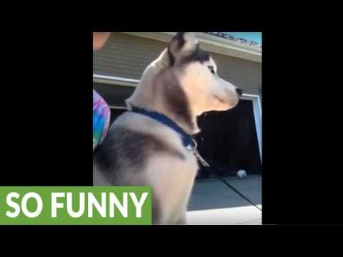 Siberian Husky bravely protects owner from mailman