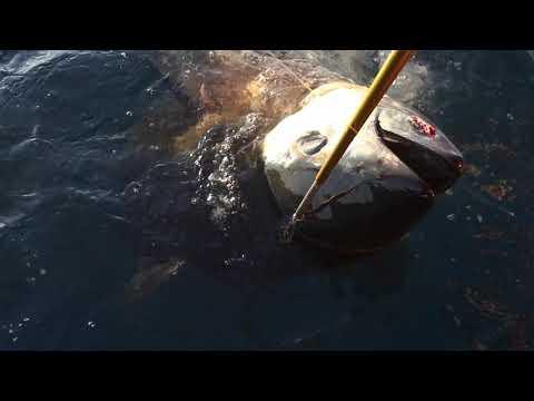 Catching North Carolina Giant Bluefin Tuna With Matador Charters.