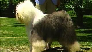 Old English Sheepdog  AKC Dog Breed Series