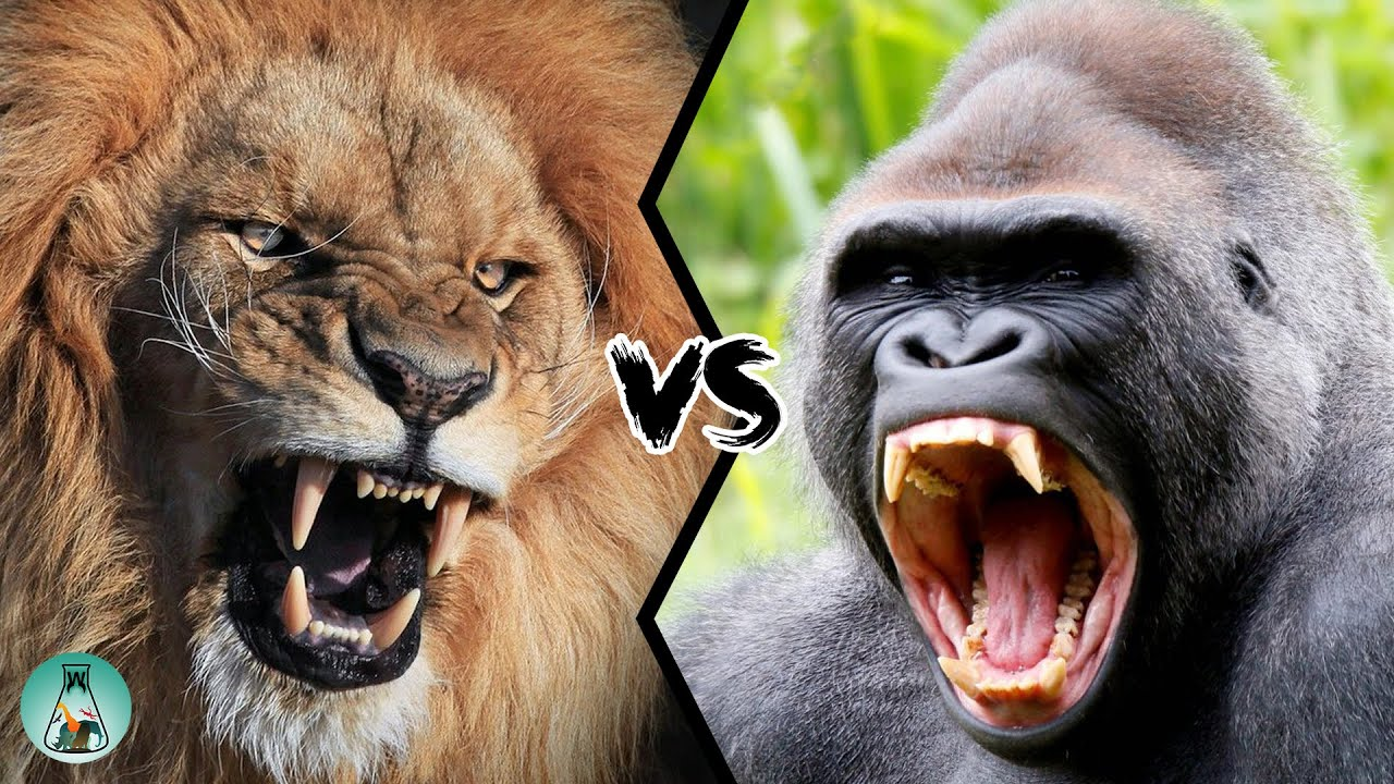 Download LION VS GORILLA - Who would win this fight?