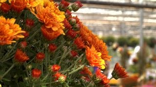 Mums The Word As Gardeners Plant For Fall