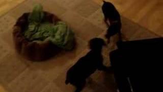 7 Week Doberman Puppy Vs. 1 Year Old Mini-pinscher