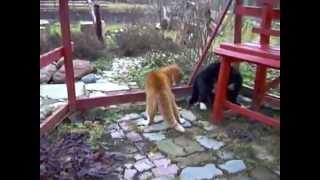 Драка котов на смерть