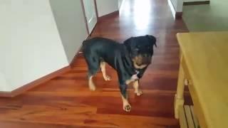 My German rottweiler puppy!
