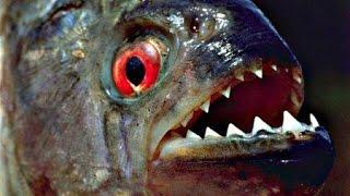 Пираньи Едят Лягушек! Слабонервным не Смотреть!! Piranhas Еat Frogs