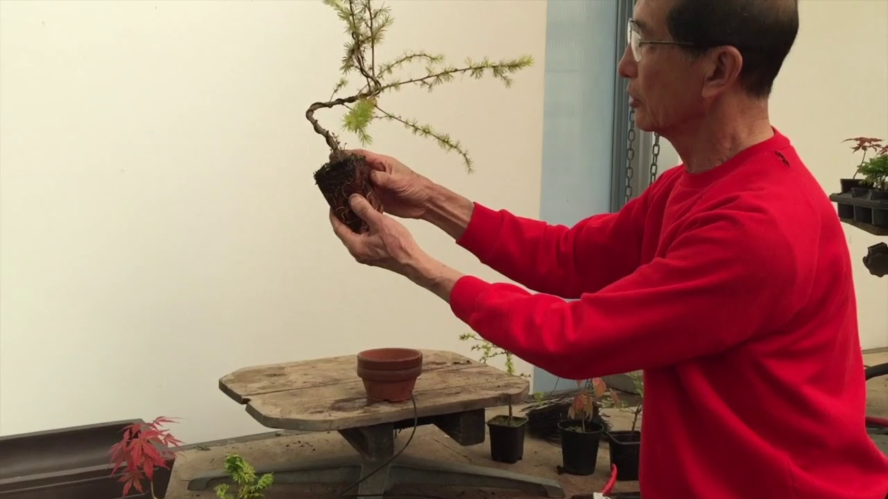 wiring a larch into a bonsai youtube
