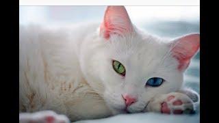 VLOG: кот с разноцветными глазами?