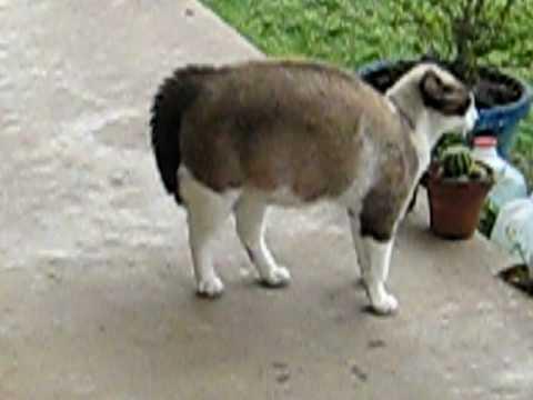 bengal cat illinois