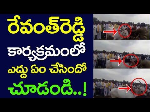 Watch What Ox Did In Revanth Reddy Programme | Eruvaka In Telangana | Telugu Desam Party | Taja30