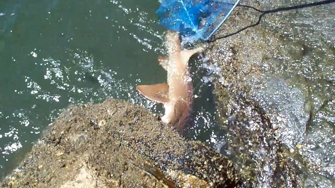 Shark fishing at ponce inlet north jetty youtube for Ponce inlet fishing