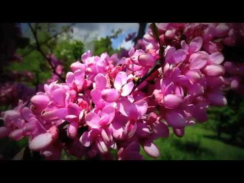 Багрянник, Церцис или Иудино дерево. Одесса в цвету. Весна, ароматы и трудолюбивые пчелки)
