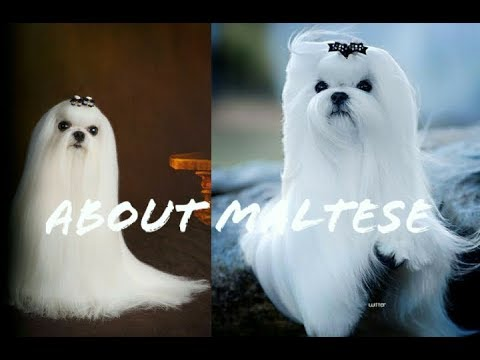 Want to know about maltese puppy and looks