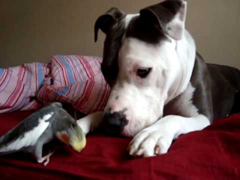 Hailey and Oliver  (Pit Bull & cockatiel are best friends!)