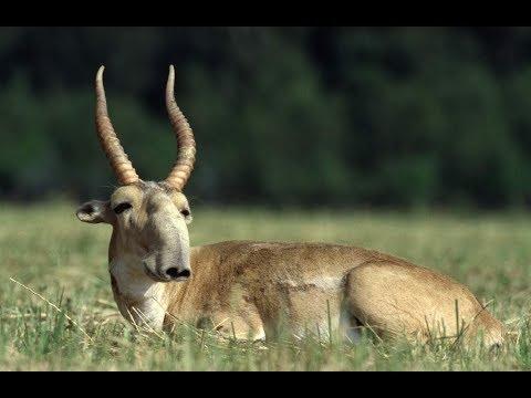 Необычные животные -  сайгаки в Харьковской области.