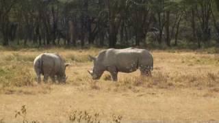 www.khusainov.com Белые носороги!