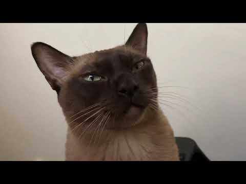 Burmese cat Matilda wants to go out on baby stroller