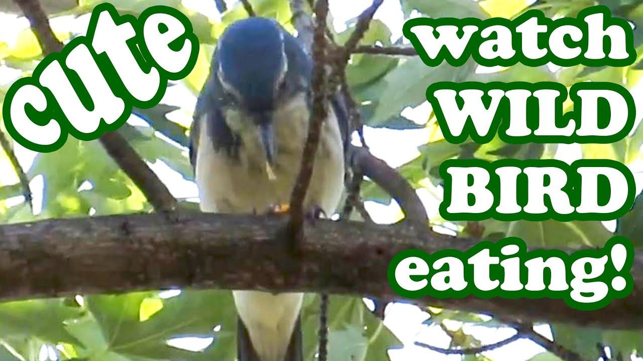 bird watching blue birds backyard birding images wild wildlife