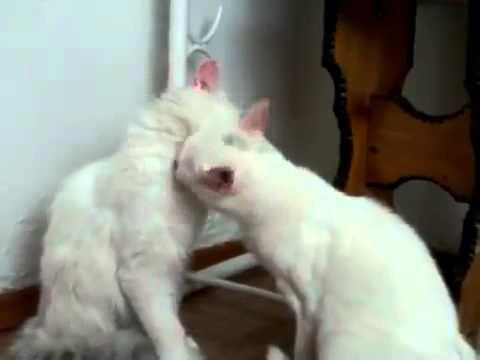 Видео как целуются коты