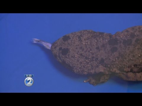 Japanese salamanders to be featured at Honolulu Zoo exhibit