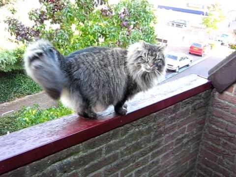 Gligli, my norwegian forest cat