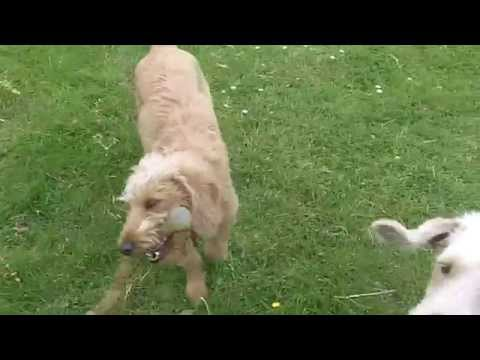 Labradoodles Marley & Molly legging it at A & B Dogs Boarding & Training Kennels.
