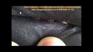 Уничтожение клопов постельных(Все подробности по уничтожению насекомых, препаратах и пр. Вы можете узнать на сайте http://dezmoscow.ru/ или позвон..., 2013-05-06T13:34:34.000Z)