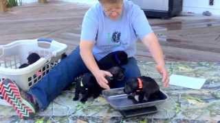 Rosies Standard Schanuzer puppies 8-24-15 4 weeks old tomorrow