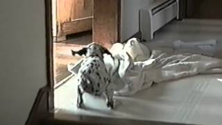 Funny Dogs - Dalmatian Puppy Takes A Tumble - Full Hd