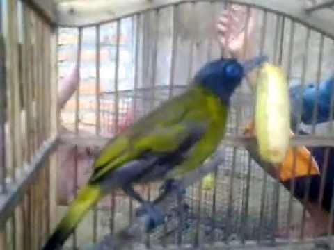 Burung Cucak Kuricang, Cecep, Kutilang Sutra