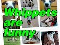 Dogs Whippets Play On The Beach! Video Fun!