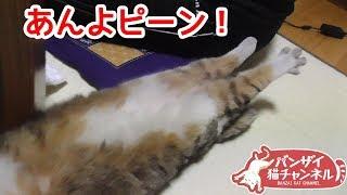 箱根駅伝を見ながら寝正月を満喫してあんよピーンとなる猫がかわいい サビイロネコ 検索動画 26