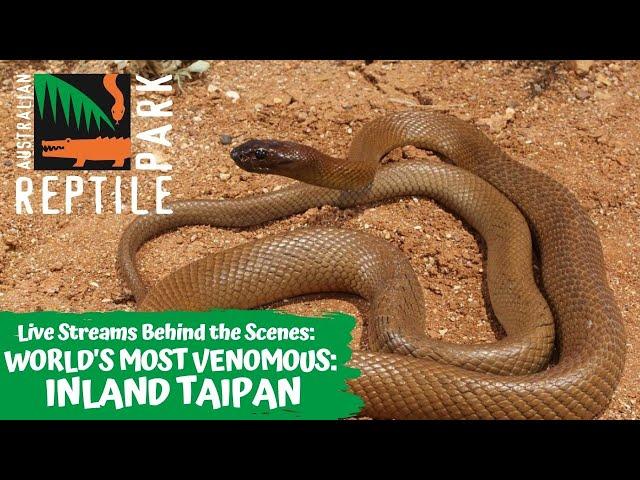WORLDS MOST VENOMOUS SNAKE: INLAND TAIPAN | AUSTRALIAN REPTILE PARK