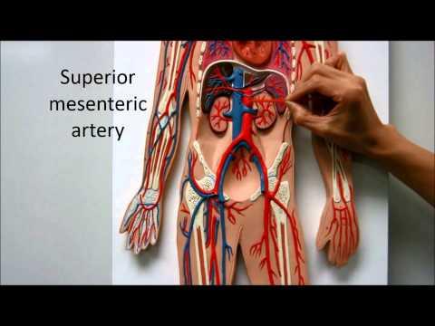 Blood Flow Path Body Systemic Circulation Anatomy Physiology Nursing