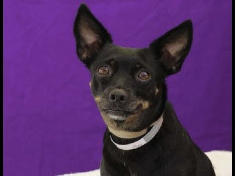 Pinscher or chihuahua
