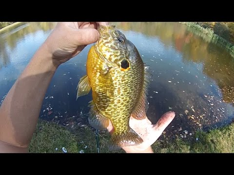 Bait Fishing #131 - Catching Big Pumpkinseed Sunfish And Other Panfish